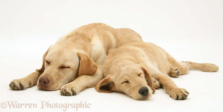 Sleepy Yellow Labrador Retriever, Millie, with Yellow Labradoodle pup, Maddy, white background