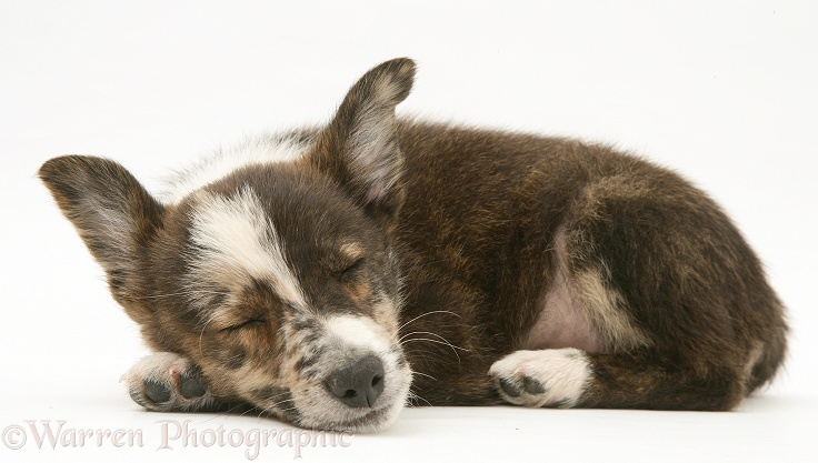 Mongrel pup, Brec, asleep, white background