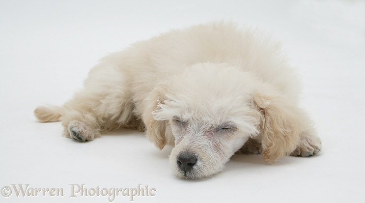 Miniature Apricot Poodle pup sleeping, white background