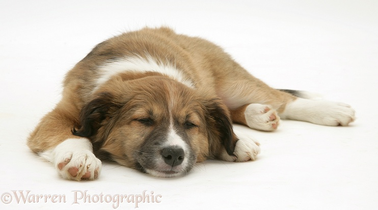 Sleepy Border Collie pup, white background