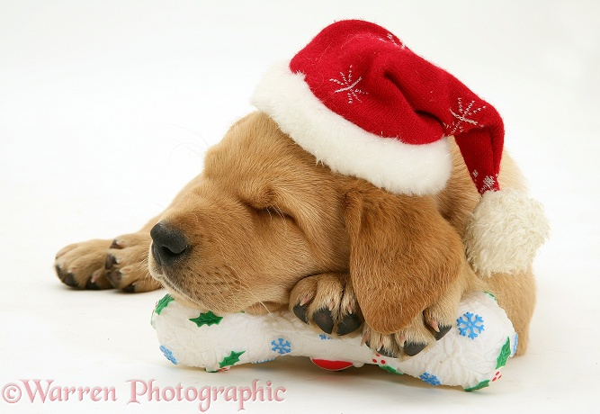 Yellow Labrador Retriever pup wearing a Father Christmas hat, asleep on a festive toy bone, white background
