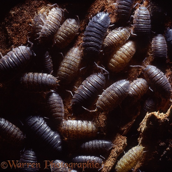Common Rough Woodlouse (Porcellio scaber) group sheltering in a crevice under tree bark