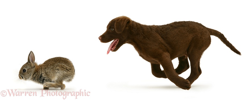 Chesapeake Bay Retriever dog pup, Teague, chasing a young rabbit, white background
