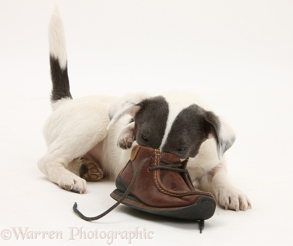 Blue-and-white Jack Russell Terrier pup, Scamp, investigating a child's shoe, white background