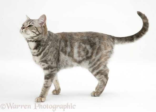 Tabby cat Cynthia walking, white background