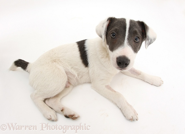 Blue-and-white Jack Russell Terrier pup, Scamp, white background