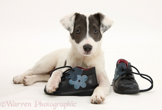 Blue-and-white Jack Russell Terrier pup, Scamp, with child's shoes, white background