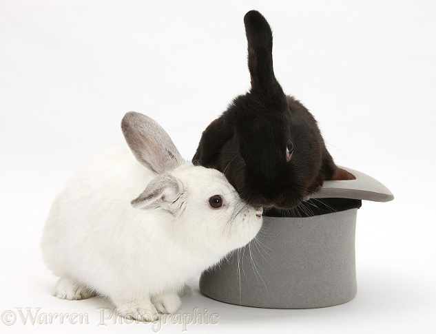 Black rabbit in a top hat with white rabbit, white background
