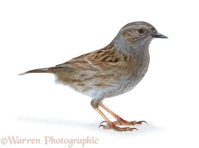 Hedge Sparrow or Dunnock (Prunella modularis).  Europe, white background