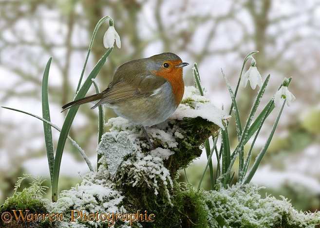 European Robin (Erithacus rubecula) with winter Snowdrops (Galanthus nivalis).  Europe