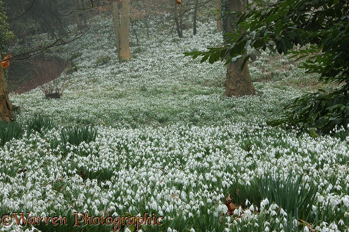 Woodland with Snowdrops (Galanthus nivalis).  Gloucestershire, England