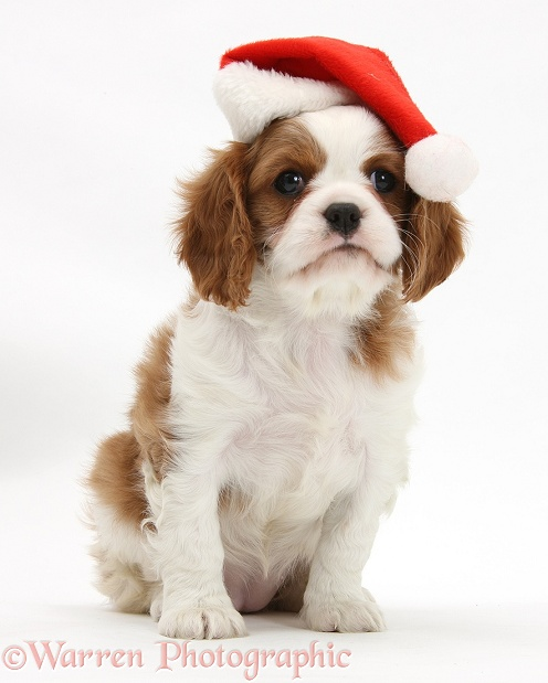 Blenheim Cavalier King Charles Spaniel pup wearing a Father Christmas hat, white background