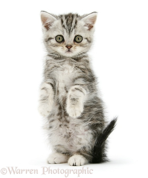 Silver tabby kitten sitting with paws up, white background