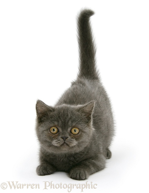 Grey kitten with tail up, white background