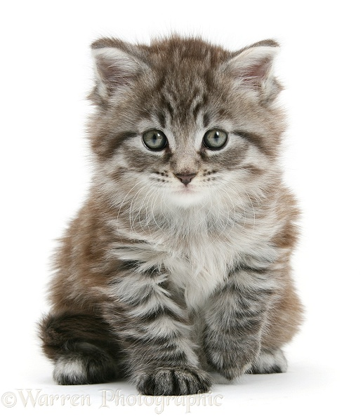 Maine Coon kitten, Goliath, white background
