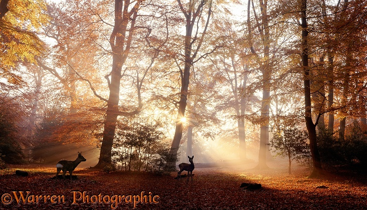Roe Deer (Capreolus capreolus) pair at sunrise in a Beech forest.  Hampshire, England