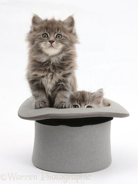 Maine Coon kittens, 7 weeks old, in a top hat, white background