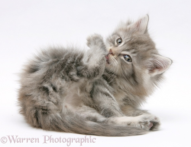 Maine Coon kitten grooming a hind foot, white background