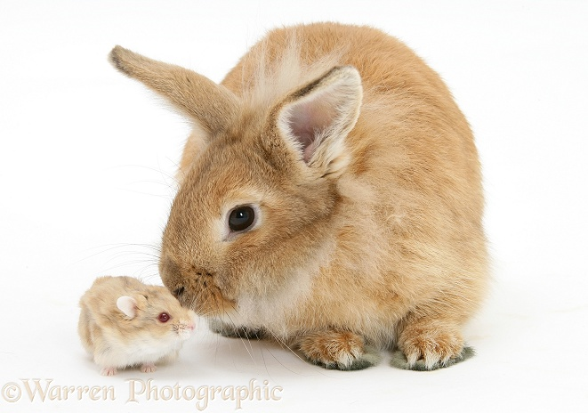 Sandy Lionhead rabbit meeting Dwarf Siberian Hamster, white background