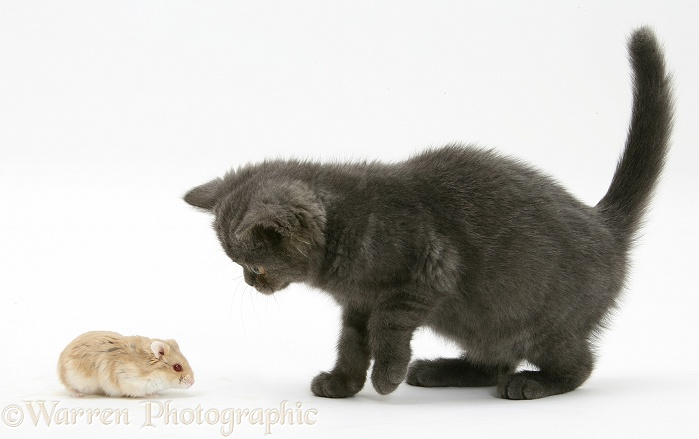 Grey kitten meeting Dwarf Siberian Hamster, white background
