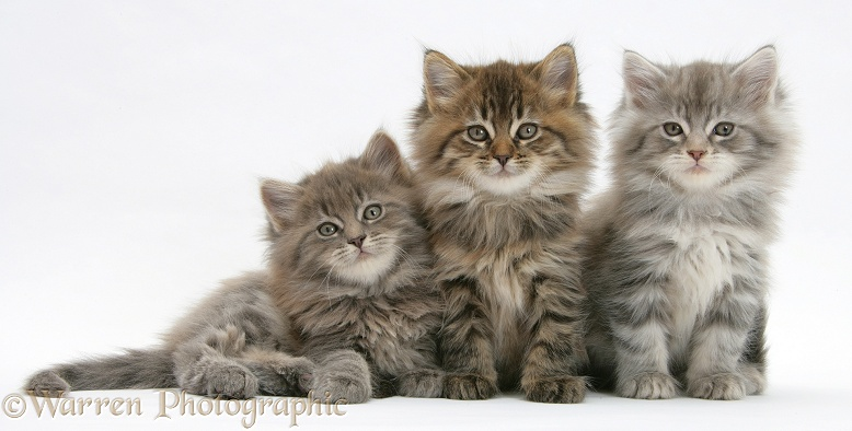Three Maine Coon kittens, 7 weeks old, white background