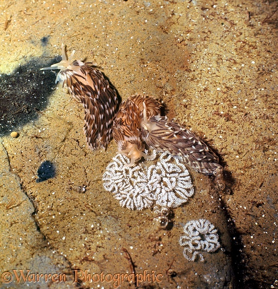 Common Grey Sea Slug (Aeolidia papillosa) group spawning on a rock in a tide pool.  Atlantic coasts
