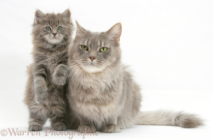 Maine Coon mother cat, Serafin, and kitten, 7 weeks old, white background