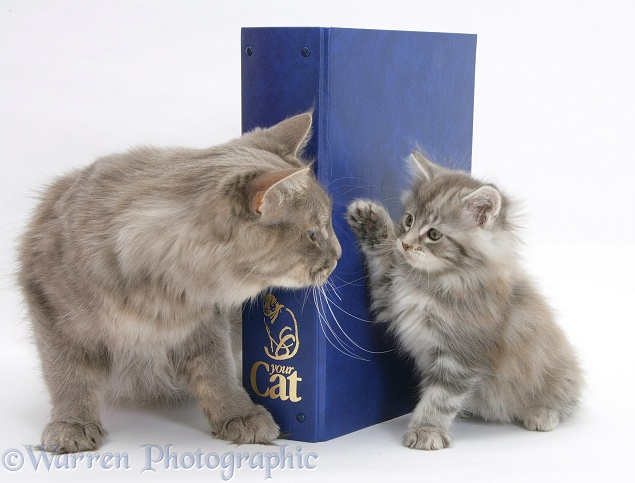 Maine Coon mother cat, Serafin, and kitten with 'Your Cat' binder, white background