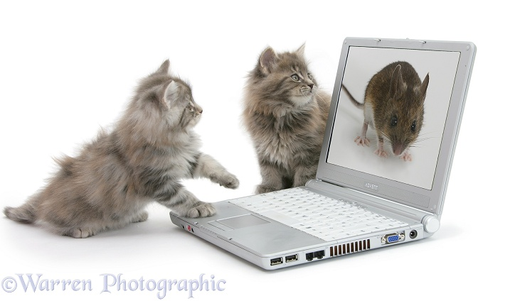 Maine Coon kittens playing with a laptop computer, white background