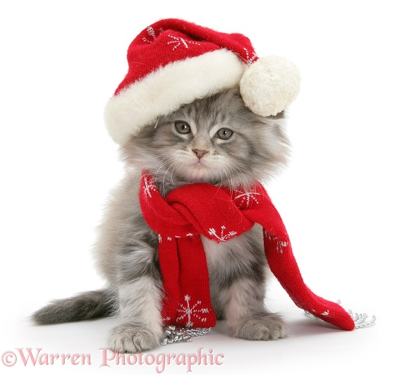 Maine Coon kitten wearing a Father Christmas hat and scarf, white background