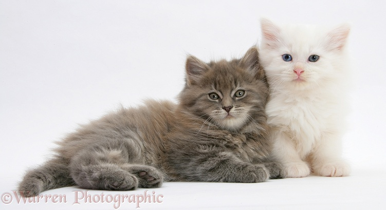 Maine Coon kittens, 7 weeks old, white background