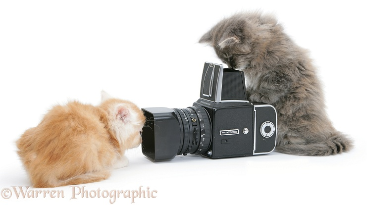 Maine Coon kittens, 8 weeks old, playing with a Hasselblad camera, white background