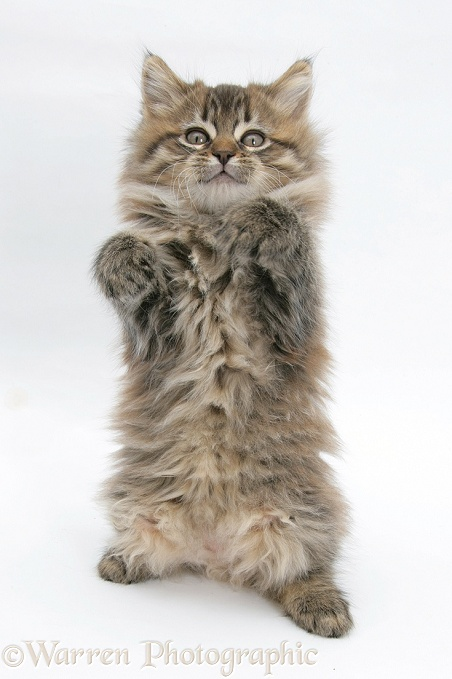Maine Coon kitten, 8 weeks old, standing up, with paws up like a boxer, white background