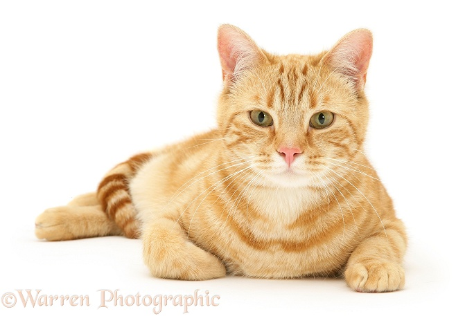 Ginger cat, Benedict, lying with head up, white background