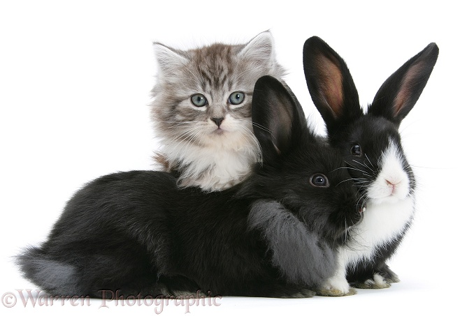 Maine Coon kitten, 8 weeks old, with baby Dutch x Lionhead rabbits, white background