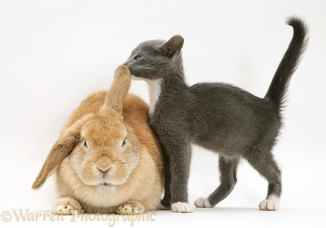 Blue-and-white Burmese-cross kitten Levi with Sandy Lop rabbit, white background