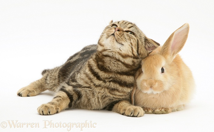 British Shorthair Brown Spotted cat, Tiger Lily, with baby sandy Lop rabbit, white background