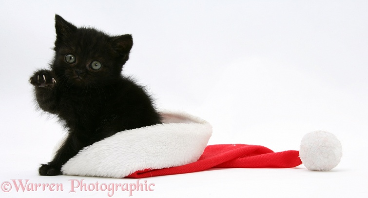 Black kitten in a Father Christmas hat, white background