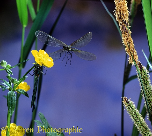 Beautiful Demoiselle (Calopteryx virgo) female taking off from buttercup on which male is resting.  Europe