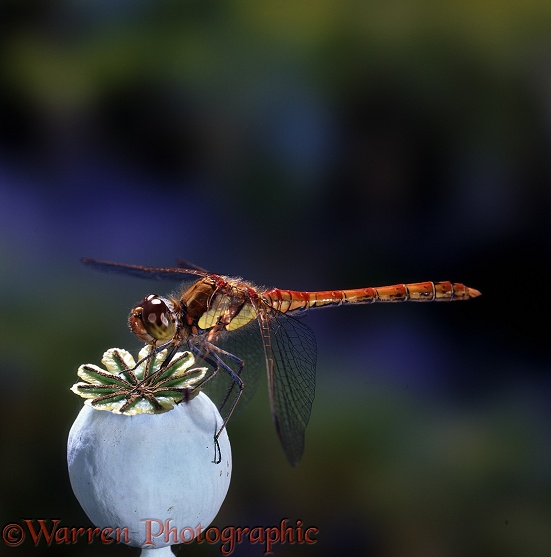 Common Darter Dragonfly on poppy seed head