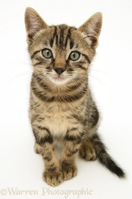 Marbled Tabby Cat Pictures