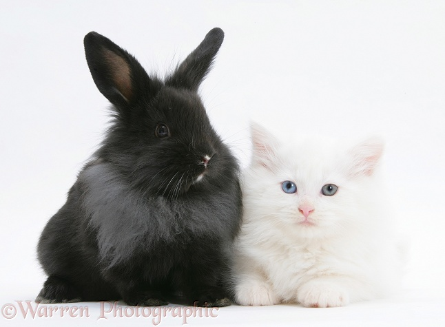 White Maine Coon kitten, 8 weeks old, with black baby Dutch x Lionhead rabbit