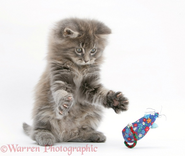 Maine Coon kitten, 8 weeks old, playing with a toy mouse, white background