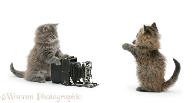 Maine Coon kittens, 8 weeks old, playing with an old bellows camera, white background