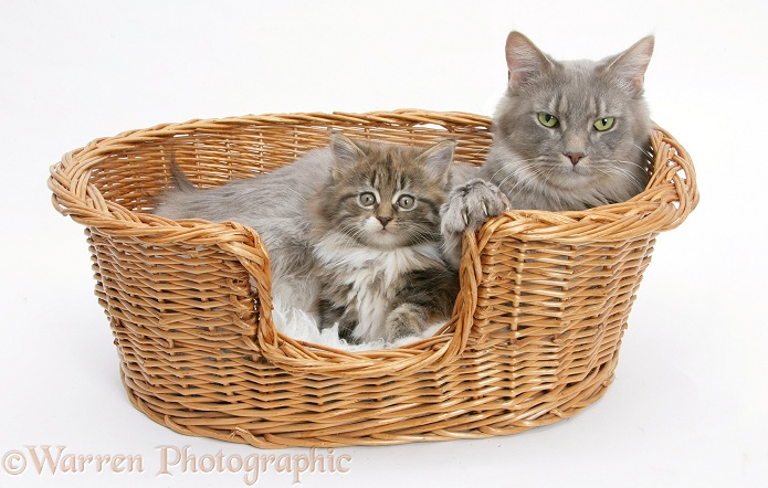 Maine Coon mother cat, Serafin, and kitten in a basket, white background