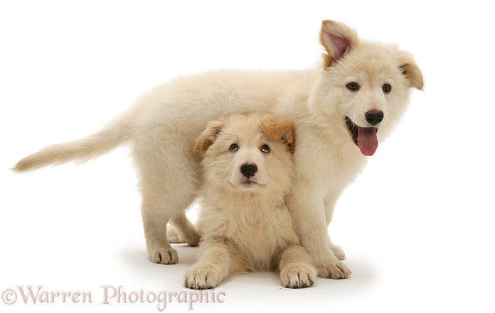 White German Shepherd Dog pups, white background