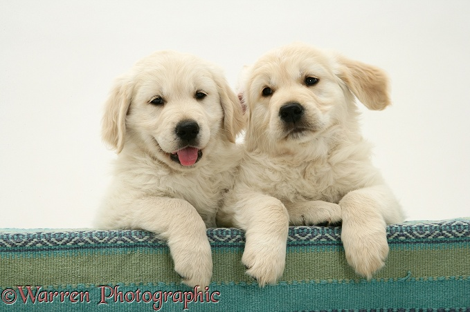 Golden Retriever pups with paws over, white background
