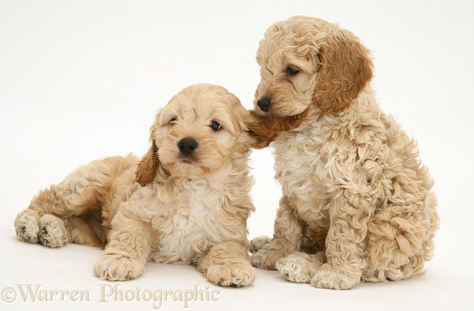 Playful American Cockapoo puppies, white background