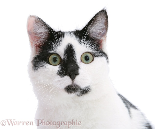 Black-and-white cat, Pablo, white background