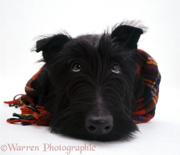 Scottish Terrier, Angus, 4 months old, with a tartan scarf on, white background